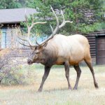 Elk herd visits Maxwell Inn - coming down the hill