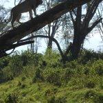 Lion at entrance of Lake Nakuru