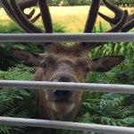 Deer at the window