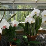 Orchids in the greenhouse