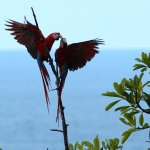 Scarlet Macaws cavorting off the front deck
