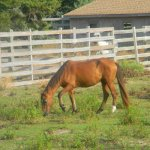 Beautiful pony at the Ocracoke Pony Pens