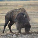 Bison having a dust bath