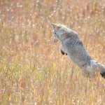 Coyote pouncing (and missing)