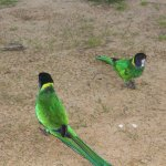 Australian ringneck parrots, very friendly