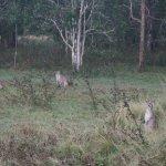 Wallabies, some with joeys