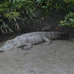 The first male croc we met