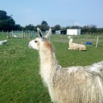 llamas on the farm