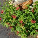 Wildflowers (oswego tea or bee balm) in the patio garden