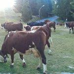 Le passage des vaches (avec les clochettes) au lever du soleil. Superbe moment !