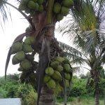 Beautiful coconut tree