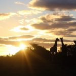 A shot of the Giraffes while we had evening drinks out inthe bush at sunset.