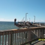 Pelicans on the pier!