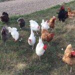 Chicken stampede