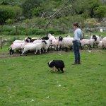 Sheep, along with dog and trainer
