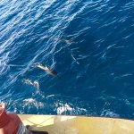 Dolphin spotting between Moso and Lelepa islands