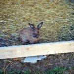 un des 3 lapins de la mini ferme