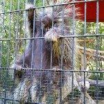 Climbing porcupine