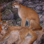 Rogers Pass Discovery Centre, Mountain Lions