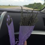 Someone gave up a bit early on the lavender clipping