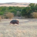 A hippo heads to the rive at sunrise. The gate to the camp is in the background