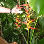 Helicon or Lobster Claw Plant