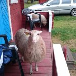 The sheep enjoying the porch of our cabin.