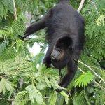 Howler monkeys - taken from Ridge Suite #16