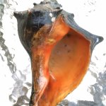 Conch from Sunset Beach