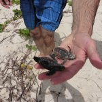 Baby turtles, exhausted and need help.
