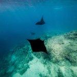 The Mantas of Bulia Island