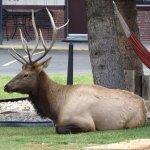 Elk on property