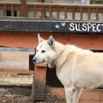 One of the dogs (Suspect) at Husky Homestead
