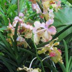 pink and yellowish orchids