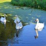 Swans near the farmhouse