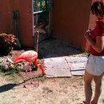 Interacting with the free ranging flamingos.
