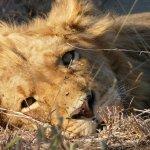 Shindzela Tented Safari Camp-billede