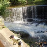Princess, disguised by cow poo, admiring the weir in Yarrow Valley Park.