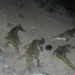 Crocodiles being fed at Night