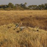 Difficult - but not impossible - to spot: cheetah