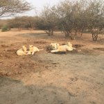 White Lions on the reserve - truly amazing