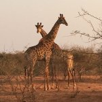 Giraffes on the reserve, the hippies of the bush!