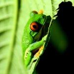 Red Frog Eyes (Agalychnis callidryas) in our garden