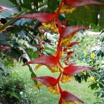 Heliconia in our Garden