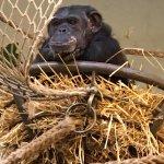Chimpanzee house