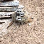 The Meerkat babies