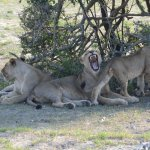 Photos from a Game Drive: Lions in the shade