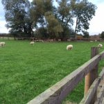 Sheep grazing at the front of the stables
