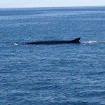 A large razorback whale.