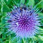In our garden: artichoke flower:)